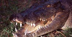 Como fazer um colar com dentes de crocodilo. Um colar feito com dente de crocodilo é um acessório único que com certeza será notado. Ele pode ser um bom assunto para começar uma conversa, especialmente se você puder contar uma boa história de como você conseguiu o dente. Fazer o colar não é difícil, mas fazer um furo em cada dente pode ser um problema. Mesmo tomando precauções especiais, ...
