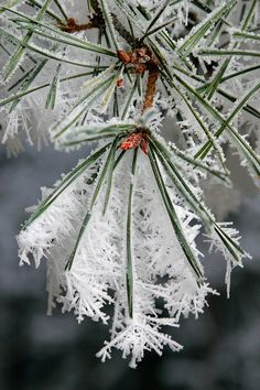 Winter ice crystals on pine needles. Already lovely, but ENLARGE to see details of this  lacy frost snowflakes building off the needles of a Christmas tree branch. #DdO:) - https://www.pinterest.com/DianaDeeOsborne/christmas-keys/ - CHRISTMAS KEYS. DID YOU KNOW?: Air doesn't hold water very well when the temperature is less than 15. So for snow to BEST fall & stay on ground, the temp has to be between 15 and 30 degrees F. Lovely photograph composition for a #holiday #Christmas #card.