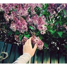 цветы, рука, сирень