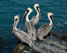 Pelicans by Kevin Johnson Rapuano