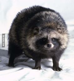 The raccoon dog, a wild animal in East Asia, is one of the earliest species of dog, and resembles a raccoon.