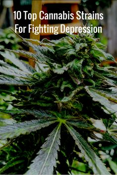 10 Top Cannabis Strains For Fighting Depression