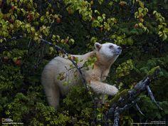 Femmina di orso kermode che raccoglie frutti