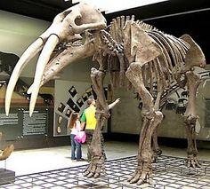 Trilophodon angustidens