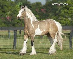 Gypsy Vanner Horses for Sale | Gelding | Buckskin  White| Tough Love