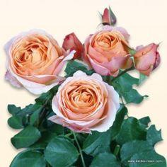 KORDES Rosen Spicy Antike Freelander ® Die schönsten Rosen der Welt