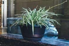 Chlorophytum – Spider Plant Self Watering Pots, Chlorophytum, Flower Pot Design, Low Light Plants, Plant Guide, Indoor Plants, Air Plants, Spider Plants, Interior Plants