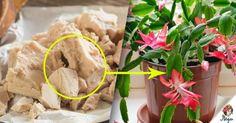 A leghatékonyabb tápanyag a szobanövények számára, aminek köszönhetően minden növény virágzani kezd! - Ketkes.com Hoya Plants, Christmas Snowman, Diy And Crafts, Home And Garden, Vegetables, Ethnic Recipes, Gardening, Rarity, Tips