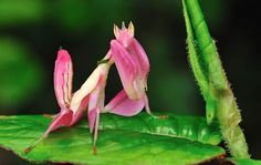 #Pink Orchid Mantis. #Gangster of S.E Asia