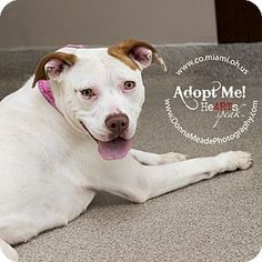 VERY URGENT!  LONGEST SHELTER RESIDENT AT A KILL SHELTER in Troy, OH - Pit Bull Terrier Mix. Meet Athena, a dog for adoption. http://www.adoptapet.com/pet/10877637-troy-ohio-pit-bull-terrier-mix