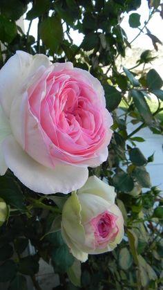 Eden rose.