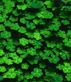 Clover Green Leaf Bright
