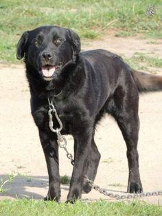 ENZO   Type : Labrador Sexe : Mâle Age : Adulte Couleur : Noir  Taille : Moyen Lieu : Charente-Maritime - 17 (Poitou-Charentes)  Refuge :  Refuge Oléronais(Charente-Maritime) Tél : 06 75 55 29 49