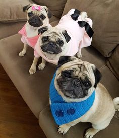 According to these three it's sweater weather in Brazil! Please follow @pug.tchelo ! #pugsofinstagram #pugs #pug by pugsofinstagram