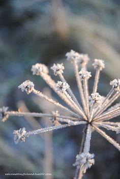 welcometomyfinland:    Frozen flower/Jäätynyt kukka