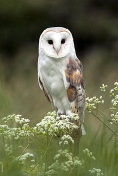 barn owl in meadow