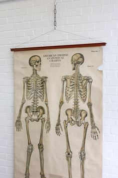 Large+Early+20th+Century+Skeleton+Anatomical+Chart+By+Frank+Frohse
