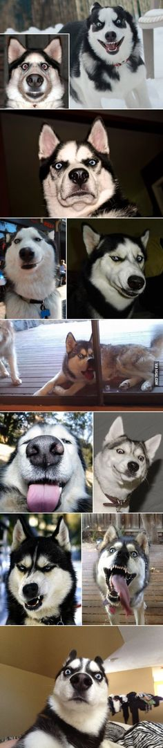 Huskies in various emotional states