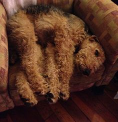 It's part of the Airedale credo: Always look comfortable wherever you are.