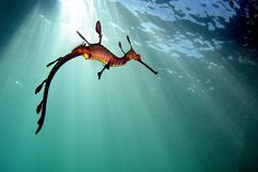 These marine fish are called sea dragons, they are related to the seahorse and they are really cute. There are two types of the sea dragon: the leafy and the weedy sea dragons. Beautiful Creatures, Animals Beautiful, Weedy Sea Dragon, Water Dragon, Dragon Fish, Fauna Marina, Especie Animal, Photo Animaliere, Sea Photo