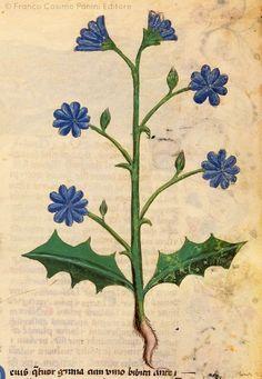 Eliotropio minore antique botanical illustration
