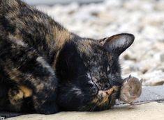 En général, quand nous entendons parler de chat et de souris, on pense assez vite à Tom et Jerry, les amis-ennemis. Pourtant, bien que nos chats sont plus…
