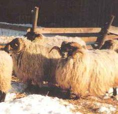 Saueraser i Norge - Skotsk Svartfjes