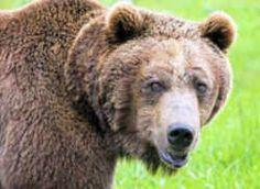 Montana State Animal: Grizzly Bear