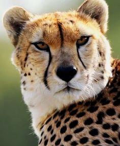Mundo Animal, Lions, Fox, Animals, Lion, Animales, Animaux, Animal, Animais