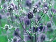 Eryngium x tripartitum, or sea holly, has blue green stems with masses of small metallic blue flower heads on tall 4 foot stems. A delight to butterflies and flower arrangers alike. Tough plant that is very tolerant of drought.