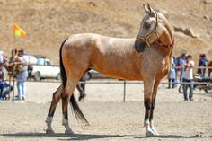 Turkman breed of horses have abandoned to their own means through sheer mismanagement of their genetic reserve by the local government officials. Their beauty thus would not last longer to roam the pristine landscape of the northeast.