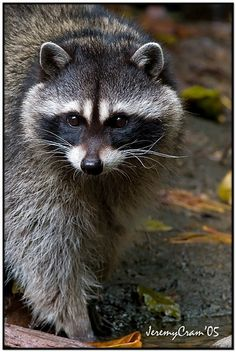 Raccoon, love this picture!  #raccoons #animals #wildlife