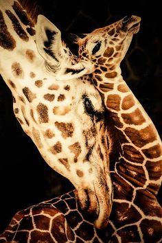 #Giraffe cuddle. #animals #creaturefeature #love