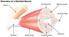 BIO 301 Human Physiology Muscle The nervous system 'communicates' with muscle via neuromuscular (also called myoneural) junctions . Muscle Strain, Muscle Mass, Fascia Muscular, Muscular System, What Is Fascia, Muscle Hypertrophy, Types Of Muscles, One Pound Of Fat, Physical Therapy