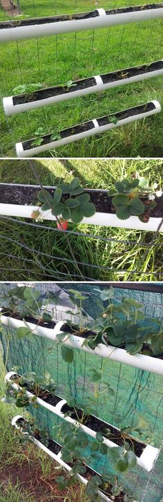 How to make hanging garden: growing strawberries in PVC pipe.
