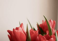 Tulips! The perfect shade: not fuchsia and not baby pink. Right in the middle :-)