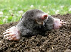 Find mole crawling stock images in HD and millions of other royalty-free stock photos, illustrations and vectors in the Shutterstock collection. Thousands of new, high-quality pictures added every day. Mole Day, Taupe, Color Of The Week, Potager Bio, Garden Pests, Lawn And Garden, Animal Photography, Mammals, Cute Animals