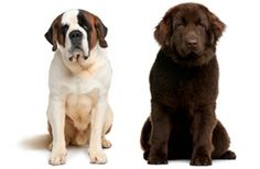 For those who live by the motto that bigger is better, there are plenty of Giant #Dog breeds, click here