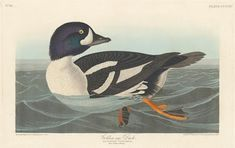 932101 Plate 403 Golden-eye Duck Illustration from 'Birds of America', (hand-coloured engraving & aquatint), Audubon, John James Free Illustrations, Illustration Art, Audubon Prints, Happy Bird Day, Duck Bird, Birds Of America, John James Audubon, Golden Eyes, Light Blue Color