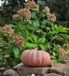 Fall hydrangeas, perfect pumpkin companion. Hydrangea Garden, Hydrangeas, Pumpkin, Backyard, Vegetables, Fall, Autumn, Patio, Pumpkins
