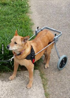 It got a new lease on life! Diy Dog Wheelchair, Pallet Dog Beds, Sun Dogs, Animal Science, Dog Diapers, Animal Projects, 3d Prints, Australian Cattle Dog, Dogs Of The World