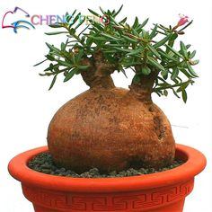 20 Pieces New Baobab Seeds Tree Seed Courtyard Plant Rare Bonsai Garden Seeds Diy For Home Garden Planter Semente Bonsai Flower #>=#>=#>=#>=#> Click on the pin to check out discount price, color, size, shipping, etc. Save and like it!