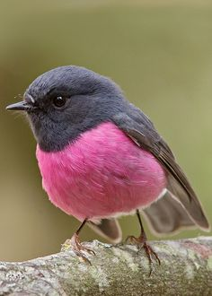 Pink Robin (Petroica rodinogaster) by Tim Collins Tasmania. So pretty