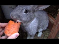 ▶ Feeding Cute Bunny Rabbit with Baby Bunny Rabbits. Eat Carrots. Funny Video for Kids and Children - YouTube
