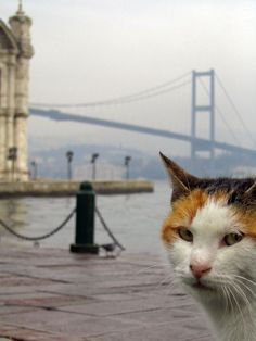 istanbul memory of a cat by ~deepestwonder on deviantART #Istanbul #cats #travel #bosphorus