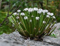 Agave albopilosa   Kakteenforum                                                                                                                                                                                 Mehr