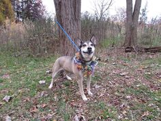 RTO SAFE - 11/18/14 Staten Island Center STAR AKA HEATHER - A1020636 FEMALE, BROWN / WHITE, JINDO / GERM SHEPHERD, 1 yr STRAY - STRAY WAIT, NO HOLD Reason STRAY Intake condition EXAM REQ Intake Date 11/14/2014, From NY 10314, DueOut Date 11/17/2014, Main Thread: https://www.facebook.com/photo.php?fbid=906749386004608
