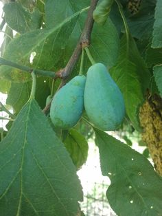 Plums affected by Corineum