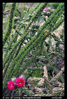 Occatillo and beavertail cactus in bloom,Big Bend National Park, TX