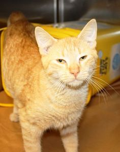 ADOPTED>Intake: 10/14 Available: 10/20 NAME: Jake  ANIMAL ID: 33739543 BREED: DSH SEX: Male  EST. AGE: 2 yrs  Est Weight: 7 lbs Health:  Temperament: Friendly ADDITIONAL INFO:  RESCUE PULL FEE: $35